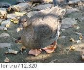 Купить «Гусь сухонос (Cygnopsis cygnoides)», фото № 12320, снято 24 сентября 2006 г. (c) Roki / Фотобанк Лори