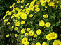 Желтые цветы, фото № 13140, снято 22 октября 2016 г. (c) Удодов Алексей / Фотобанк Лори