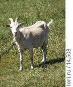 Купить «Коза», фото № 14508, снято 7 июля 2006 г. (c) Александр Легкий / Фотобанк Лори