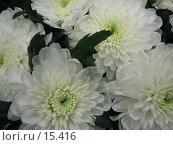 Купить «Белая хризантема», фото № 15416, снято 19 декабря 2006 г. (c) Комиссарова Ольга / Фотобанк Лори