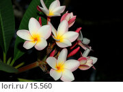 Купить «Plumeria, Frangipani. Цветы плюмерии гибридной на ветке дерева.», фото № 15560, снято 28 ноября 2006 г. (c) Eleanor Wilks / Фотобанк Лори