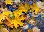 Упавшие на воду желтые осенние листья клена, фото № 19016, снято 10 ноября 2005 г. (c) only / Фотобанк Лори