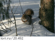 Купить «Белка на снегу», фото № 20492, снято 11 февраля 2007 г. (c) Николай Гернет / Фотобанк Лори