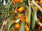 Плоды облепихи, фото № 21408, снято 17 сентября 2005 г. (c) Ivan I. Karpovich / Фотобанк Лори
