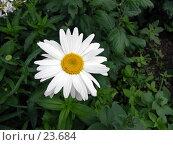 Купить «Маленькая ромашка», фото № 23684, снято 22 июля 2006 г. (c) Куприянов Евгений / Фотобанк Лори