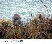Купить «Молодой олень пасется у воды», фото № 23940, снято 28 февраля 2007 г. (c) Julia Nelson / Фотобанк Лори