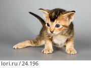 Купить «Котёнок абиссинской породы в студии», фото № 24196, снято 10 марта 2007 г. (c) Vladimir Suponev / Фотобанк Лори