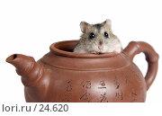 Купить «Джунгарский хомячок, выглядывающий из глиняного чайника», фото № 24620, снято 18 марта 2007 г. (c) Давид Мзареулян / Фотобанк Лори