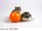 Купить «Два джунгарских хомяка и мандарин», эксклюзивное фото № 25304, снято 18 марта 2007 г. (c) Охотникова Екатерина *Фототуристы* / Фотобанк Лори