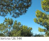 Купить «Ветки сосен на фоне неба», фото № 26144, снято 3 ноября 2006 г. (c) Маргарита Лир / Фотобанк Лори