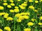 Одуванчики цветут, фото № 26500, снято 13 мая 2006 г. (c) Петрова Ольга / Фотобанк Лори
