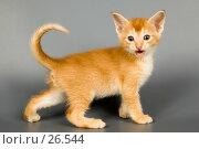 Купить «Ой, кто это к нам пришел! Котёнок в студии», фото № 26544, снято 17 марта 2007 г. (c) Vladimir Suponev / Фотобанк Лори