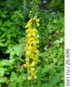 Купить «Репейничек аптечный (Agrimonia eupatoria)», фото № 26696, снято 23 июля 2004 г. (c) Вячеслав Потапов / Фотобанк Лори