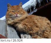 Купить «Рыжий кот греется на солнышке», фото № 26924, снято 18 января 2005 г. (c) Julia Nelson / Фотобанк Лори