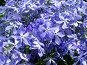 Голубые цветы, фото № 27592, снято 18 августа 2017 г. (c) SummeRain / Фотобанк Лори