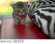 Купить «Котёнок», фото № 28672, снято 13 мая 2006 г. (c) Игорь Соколов / Фотобанк Лори