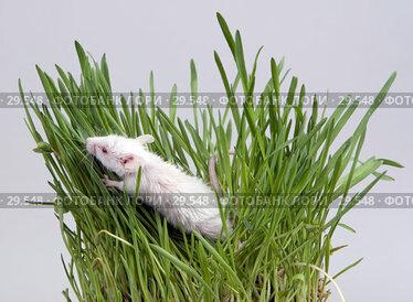 Купить «Белая мышь в траве», эксклюзивное фото № 29548, снято 18 марта 2007 г. (c) Ирина Терентьева / Фотобанк Лори