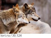 Купить «Обожди, мать... Потом все... Чуешь? Как пахнет!... (Европейский волк)», фото № 30124, снято 4 марта 2007 г. (c) Крупнов Денис / Фотобанк Лори