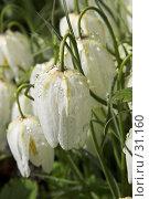 Купить «Белый рябчик в росе», фото № 31160, снято 20 мая 2006 г. (c) Харитонова Ольга / Фотобанк Лори