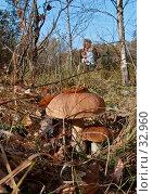 Купить «Грибы подберезовики», фото № 32960, снято 4 октября 2005 г. (c) Павел Преснов / Фотобанк Лори