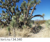 Купить «Дерево Джошуа. Пустыня Мохави. Невада», фото № 34340, снято 22 февраля 2007 г. (c) Julia Nelson / Фотобанк Лори