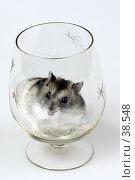 Купить «Джунгарский хомячок сидит в стеклянном бокале», фото № 38548, снято 18 марта 2007 г. (c) Сергей Лешков / Фотобанк Лори