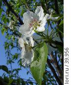 Купить «Цветущая яблоня», фото № 39956, снято 5 мая 2007 г. (c) Маря / Фотобанк Лори
