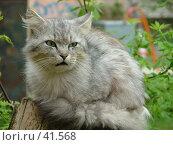 Купить «Портрет кошки», фото № 41568, снято 12 июня 2004 г. (c) Александр Демшин / Фотобанк Лори