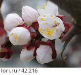 Купить «Цветы яблони», фото № 42216, снято 2 апреля 2006 г. (c) Александр Демшин / Фотобанк Лори