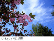 Купить «Цвет сакуры», фото № 42588, снято 9 мая 2007 г. (c) Михаил Баевский / Фотобанк Лори