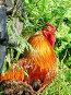 Петух, фото № 45744, снято 30 июля 2006 г. (c) Ольга Хорькова / Фотобанк Лори