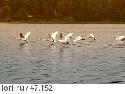 Купить «Взлёт лебедей», фото № 47152, снято 27 мая 2007 г. (c) Андрей Лабутин / Фотобанк Лори