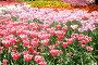 Солнечные тюльпаны, фото № 47480, снято 22 мая 2007 г. (c) Удодов Алексей / Фотобанк Лори