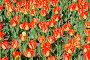 Фон: тюльпаны, фото № 50216, снято 8 апреля 2007 г. (c) Крупнов Денис / Фотобанк Лори
