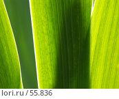 Купить «Листья Ириса», эксклюзивное фото № 55836, снято 11 июня 2007 г. (c) Михаил Карташов / Фотобанк Лори