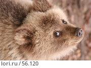 Купить «Глаза, взгляд маленького коричневого медведя вверх», фото № 56120, снято 8 октября 2006 г. (c) Останина Екатерина / Фотобанк Лори