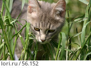 Купить «Серый котенок в зеленой  траве летним днем», фото № 56152, снято 6 июня 2006 г. (c) Останина Екатерина / Фотобанк Лори