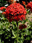 Цветок лихнесса (татарского мыла), фото № 56160, снято 23 июня 2007 г. (c) Андрей Жданов / Фотобанк Лори