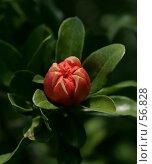 Купить «Бутон цветка граната на фоне темно-зеленой листвы», фото № 56828, снято 1 июля 2007 г. (c) Demyanyuk Kateryna / Фотобанк Лори