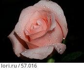 Купить «Розовая роза на черном фоне», фото № 57016, снято 22 октября 2005 г. (c) Елена Руденко / Фотобанк Лори