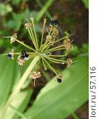 Купить «Семена и сухие цветы черемши», фото № 57116, снято 1 июля 2007 г. (c) Чертопруд Сергей / Фотобанк Лори