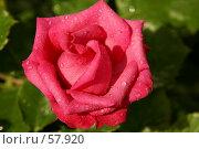 Купить «Роза», фото № 57920, снято 1 июля 2007 г. (c) Смирнова Лидия / Фотобанк Лори