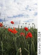 Купить «Маки в зарослях пшеницы», фото № 58324, снято 20 июня 2006 г. (c) Михаил Лавренов / Фотобанк Лори