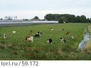 Купить «Коровы», эксклюзивное фото № 59172, снято 1 июля 2007 г. (c) Natalia Nemtseva / Фотобанк Лори