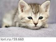 Купить «Маленький серый котенок», фото № 59660, снято 4 июля 2007 г. (c) Останина Екатерина / Фотобанк Лори