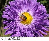 Купить «Пчела на сиреневой астре», фото № 62224, снято 20 августа 2005 г. (c) Елена Руденко / Фотобанк Лори