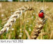 Купить «Насекомое красная божья коровка», фото № 63392, снято 11 июля 2007 г. (c) Петрова Ольга / Фотобанк Лори