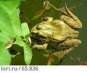 Купить «Зеленая лягушка спрятавшаяся в зарослях водных растений», эксклюзивное фото № 65836, снято 17 августа 2018 г. (c) Александр Тараканов / Фотобанк Лори