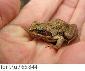 Купить «Так вот ты какая Царевна-лягушка. Лягушка, сидящая на руке.», эксклюзивное фото № 65844, снято 14 июля 2020 г. (c) Александр Тараканов / Фотобанк Лори