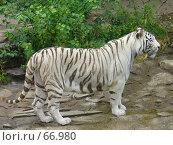 Купить «Белый тигр», фото № 66980, снято 28 июля 2007 г. (c) Катя Белякова / Фотобанк Лори